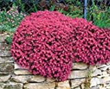 Aubrieta Rock Cress Cascade Red, Aubrieta Hybrida Superbissima, Perennial, Hanging Baskets, Ground Cover, Rock Wall, Fragrant - Attracts Birds, Bees and Butterflies, Sow in Fall/Spring, 25 Seeds