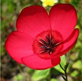 Non GMO Bulk Scarlet Flax Seeds Linum grandiflorum rubrum (1/2 Lb)