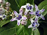 100 Calotropis gigantea seeds, Giant Milkweed Giant Milkweed, Crown Flower