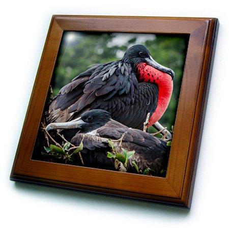 - 3dRose ft_205618_1 Isla De Plata Ecuador Nesting Frigate Bird Pair Framed Tile, 8