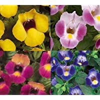 NEW! 20+ TORENIA WISHBONE FLOWER SEEDS MIX / ANNUAL