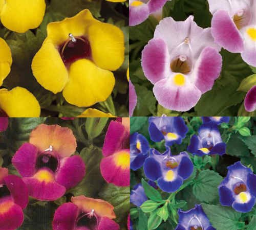 NEW! 20+ TORENIA WISHBONE FLOWER SEEDS MIX / (Wishbone Bushes)