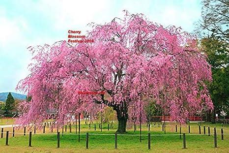 Amazoncom Us Seller 10 Seeds Japanese Cherry Blossom Tree No