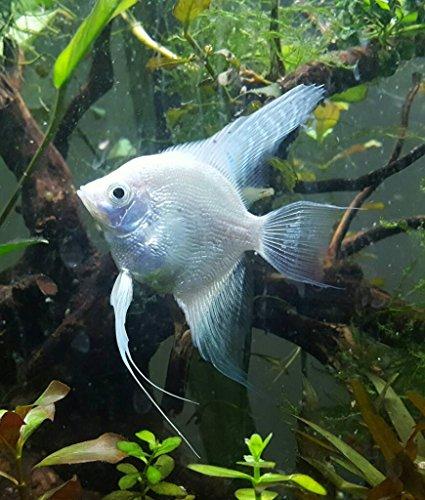 - WorldwideTropicals Live Freshwater Aquarium Fish -2to3 Platinum Angel Fish - PLATINUM ANGEL FISH - by Live Tropical Fish - Great For Aquariums - Populate Your Fish Tank!