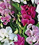 Sweet Pea Seeds - yes its a Climbing Perennial