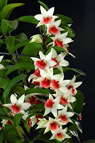 - FERRY Organic Seeds:Blooming Size Dendrobium Green Lantern 'Red Carpet' Orchid, Easy Grower