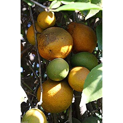Indian Bael 10 Seeds A.k.a Bengal Quince, Golden Apple, Stone Apple, Aegle Marmelos : Garden & Outdoor