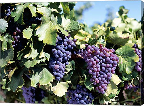 Close-up of Cabernet Grapes, Nuriootpa, Barossa Valley, Adelaide, South Australia, Australia Canvas Art Wall Picture, Gallery Wrapped with Image Around Edge, 17 x 13 inches