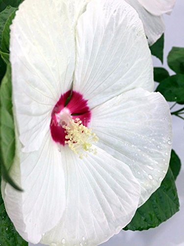 Amazoncom 75 Fresh Luna White Perennial Hardy Hibiscus Rose Mallow