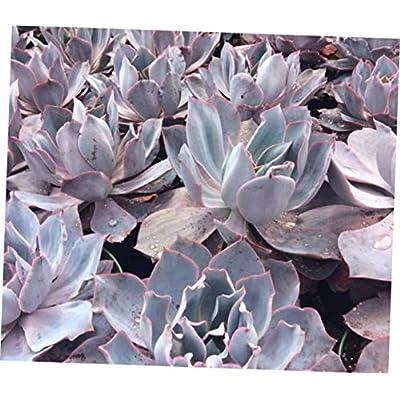 TEE 1 Bare Root Mature Succulent Plant Echeveria Afterglow - RK69 : Garden & Outdoor