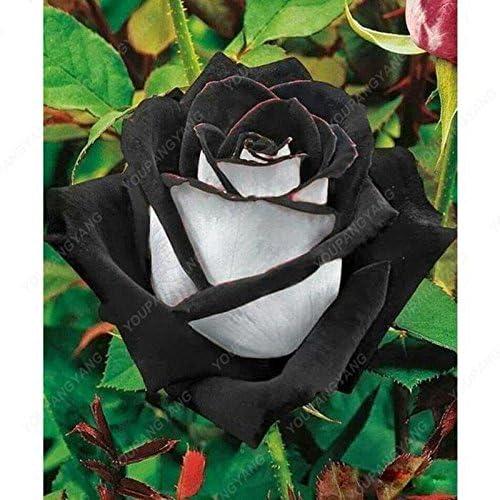 100 piezas / bolsa de 16 tipos de semillas de rosa raras Semillas Semillas de flores de color Bonsai Inicio planta en maceta Jardín envío del CLARO: Amazon.es: Jardín