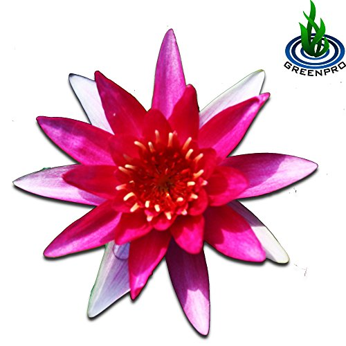 ((Nymphaea Gloriosa) Hardy Water Lily Tuber Live Water Plants For Pond Balcony Porch Decorations By Greenpro)