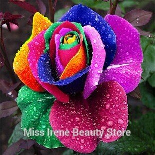 Rose seeds flower colorful rose seed rainbow desert black blue red white pink rose seeds - 100 pcs seeds