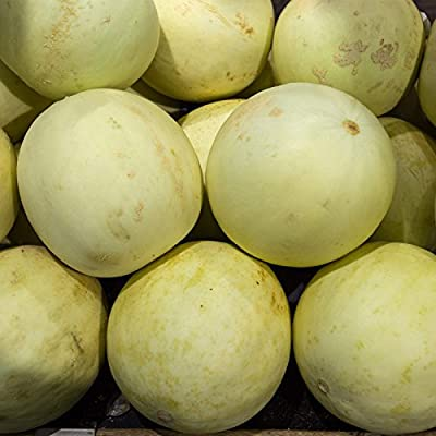 Honeydew Melon Garden Seeds (Treated) - EarliDew Hybrid - Non-GMO Vegetable Gardening Seed - Fruit