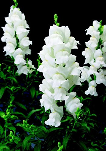 Antirrhinum majus (snapdragon) Maximum Snow annuals Flowers Seeds from Ukraine