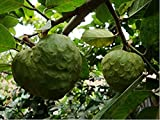Nianyan 15 Seeds Annona Cherimola Fruit Shrub Cherimoya Custard Apple