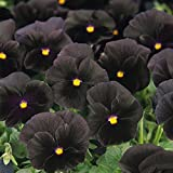 Outsidepride Black Pansy Flower Seed - 1000 Seeds