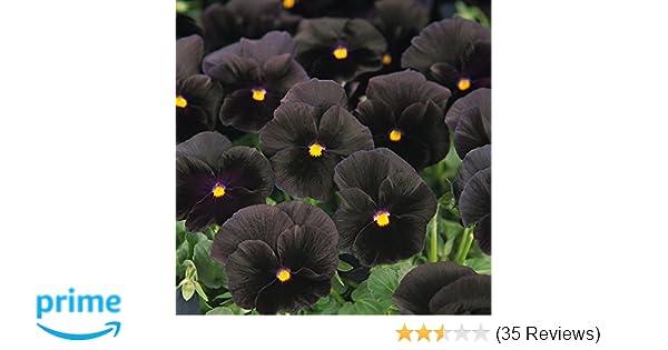 Amazon outsidepride black pansy flower seed 1000 seeds amazon outsidepride black pansy flower seed 1000 seeds flowering plants garden outdoor mightylinksfo