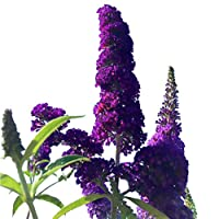 Butterfly Bush Seeds (Buddleia davidii) Black Knight + 1 Free Plant Marker (100)