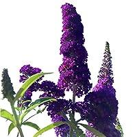 Butterfly Bush Seeds (Buddleia davidii) Black Knight + 1 Free Plant Marker (100)