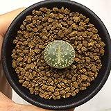 多肉植物:リトープス 紫勲*幅2cm