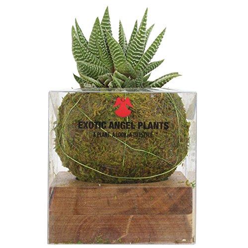 Costa Farms Kokedama Japanese Moss Ball Home Decor Planter with Live Haworthia Succulent Plant (Best Plants For Kokedama)