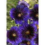 TROPICA - Kew Blue (Salpiglossis sinuatis Kew Blue) - 100 Seeds - Summer-flowers