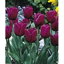 25 Tulip Triumph Bulb- Negrita,12/+cm