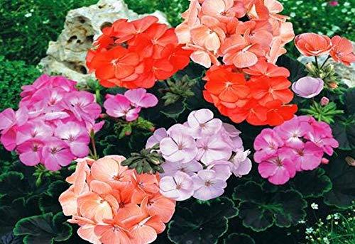 10pcs Rare Geranium Seeds Summer Skies Pelargonium Perennial Flower Seeds Hardy