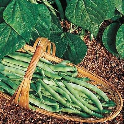 Kentucky Wonder Bush Green Bean 12 Seeds Heirloom Fun to Grow! (Best Bush Green Beans To Grow)