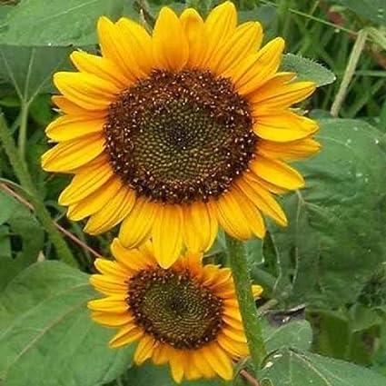 Amazon sun spot dwarf sunflower 50 seeds bright yellow flowers sun spot dwarf sunflower 50 seeds bright yellow flowers with dark centers mightylinksfo