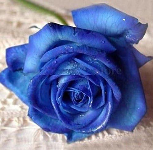 Rare Garden Plant 10 Seeds//Bag Midnight Blue Rose Flower Seeds
