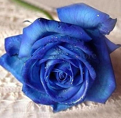 10 PCS Lover Charming Bush Midnight Rare Garden Blue Rose Seeds Fast Y3V5