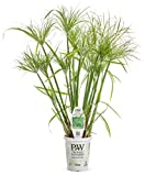 Graceful Grasses Prince Tut Dwarf Egyptian Papyrus (Cyperus) Live Plant, Bright Green Foliage, 4.5 in. Quart