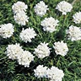 Outsidepride Armeria Alba Ground Cover Seed - 200 Seeds