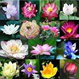25 Dwarf Lotus Seeds Mixed Colors Aquatic Water Garden indoor/outdoor
