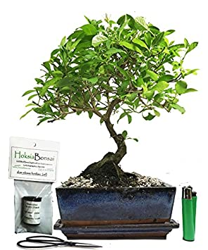 chinese elm basic indoor//outdoor bonsai tree gift set /(ce15b+/)