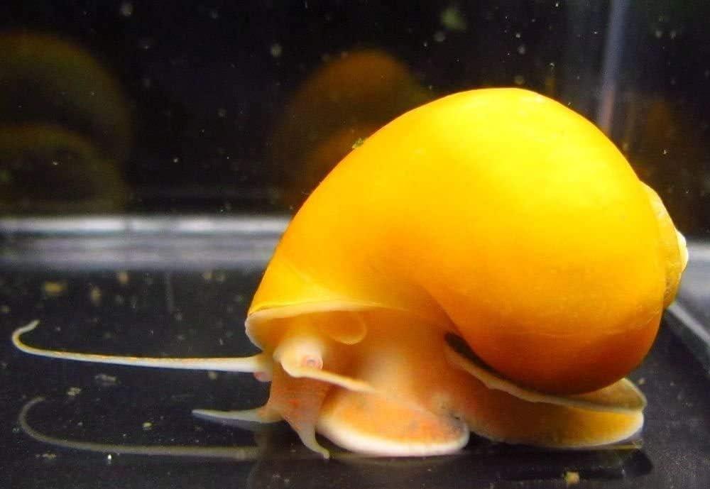 SevenSeaSupply 2 Combo Mystery Snails - 1 Blue - 1 Golden Live Mystery Snails Freshwater Aquarium Snails