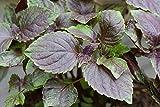 Japanese Perilla aka Ao-Shiso, Tia To Live Plant - 2 Herb Plants