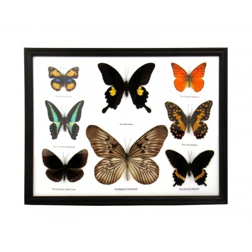 8 Butterfly Specimens on Cotton Back Wooden Frame by World Buyers