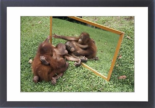 Framed Artwork of MI-394 ORANG-UTANS - adult and young looking at reflection in mirror