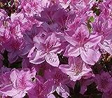 Poukhanense Lavender Korean Azalea - Live Plant - Full Gallon Pot