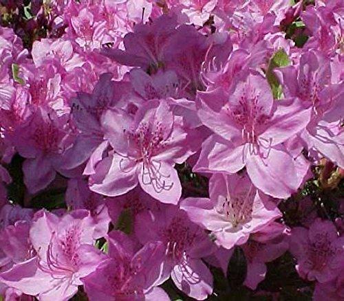 Poukhanense Lavender Korean Azalea - Live Plant - Full Gallon (Evergreen Azalea)