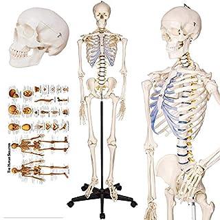 "TakeTex 70.8"" Life-Size Human Skeleton Model, Including Anatomical Skeleton Model + Colorful Chart + Cover"