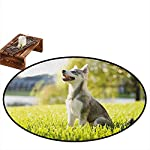 """Round Carpets,Alaskan Malamute,Klee Kai Puppy Sitting on Grass Looking Up Friendly Young Cute Animal,Anti-Slip Doormat Footpad Machine Washable,2'3"""" Multicolor 7"""