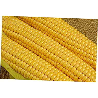 HRE 100 Pcs Fresh Seeds Kandy Korn Sweet Corn - RK63 : Garden & Outdoor
