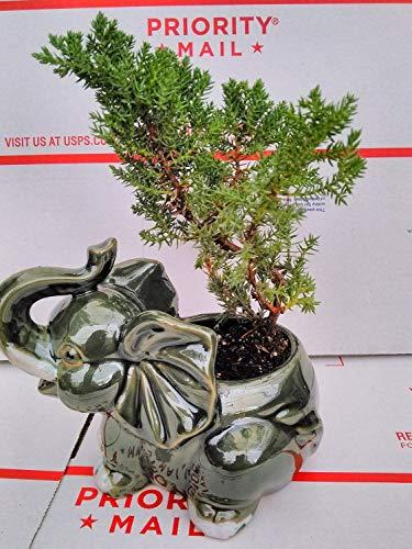 Japanese Juniper Bonsai Tree Fluffy Elephant Indoor/Outdoor 4.5 Vase