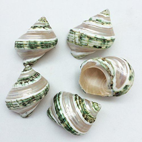 PEPPERLONELY 5PC Green Turbo with Two Pearl Bands, Hermit Crab Sea Shells, 2-1/2 Inch Up (Pearl Turbo Shells)