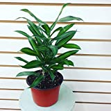 Dracaena Song of Jamaica Plant 6""