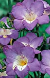 Blue Single Freesia - 15 Bulbs - Indoors/Out - Fragrant - 6/+ cm Bulbs